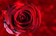Art photo Red rose petals closeup.Rose Flower on the red natural blurred background with clipping path. For design, texture, background. Nature image.