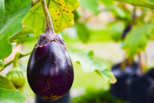 Purple Eggplant Or Brinjal Or Aubergine Or Garden Egg Or Guinea Squash Or Solanum Melongena Were Planted On The Ground