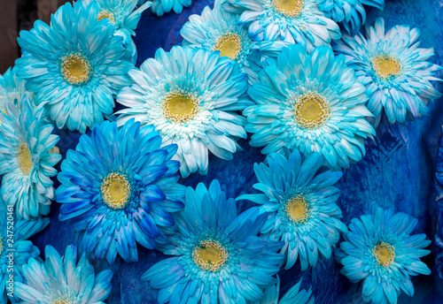 Many blue gerbera flowers on a blue background