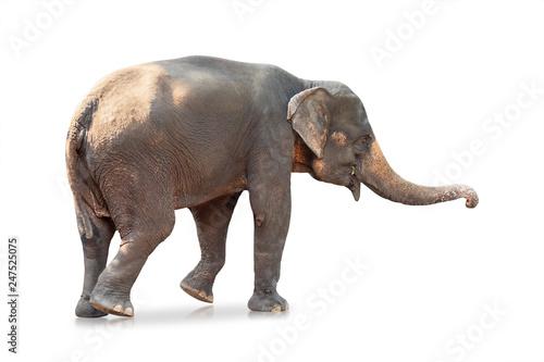 Foto op Aluminium Olifant Elephant isolated on white background. Large mammals. ( Clipping path )