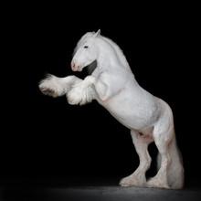 Beautiful White Rearing Gypsy Horse On Black Background Isolated, Full Body Portrait.