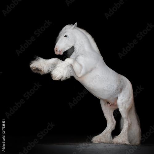 Valokuvatapetti Beautiful white rearing gypsy horse on black background isolated, full body portrait