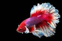 Close Up Of Betta Fish