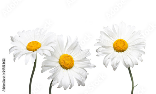Photo sur Aluminium Marguerites Chamomile flowers collage isolated on white background, floral design wallpaper