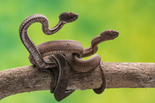 Two Snakes Intertwined On Branch