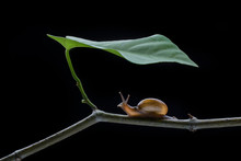 Close Up Of Snail On Twig