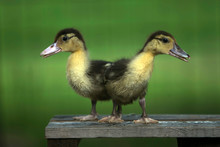 Two Ducklings On A Wooden Benc...