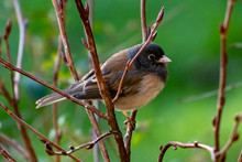 Junco Bird On A Branch, Canada