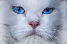 Close-up Of A White Cat With Blue Eyes