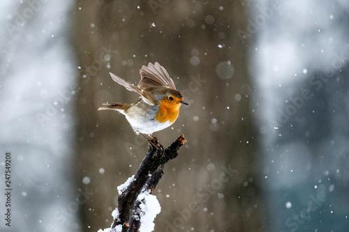 Carta da parati Pettirosso sotto la neve