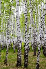 Panel Szklany Podświetlane Brzoza green spring birch forest, landscape