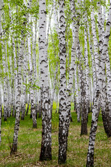 Fototapetagreen spring birch forest, landscape