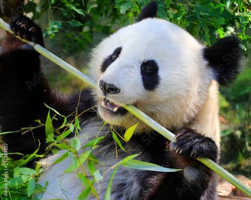 Photo  Panda giant eating bamboo