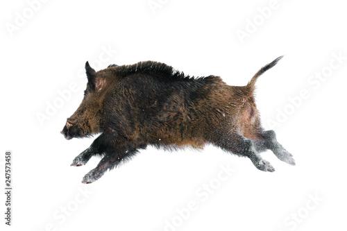 Wild boar against white Fotobehang