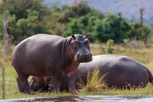 Common hippopotamus or hippo (Hippopotamus amphibius) Canvas Print