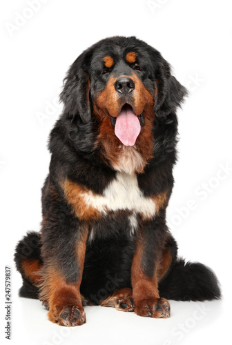Poster de jardin Vache Tibetan Mastiff dog in front of white background