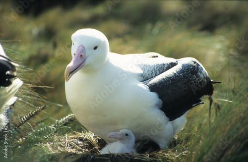 Fotografija  Antarctica; One King Albatross with baby