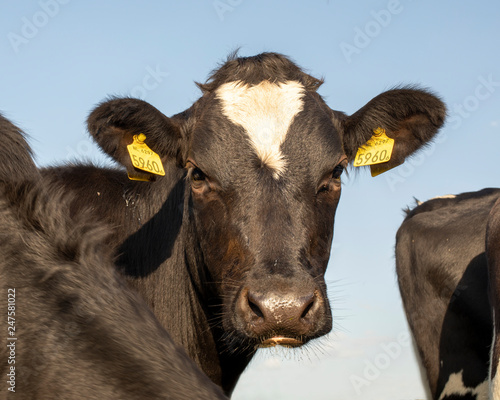 Close up of a black young cow with pouting bottom lip and with a
