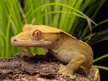 Crested Gecko On A Log