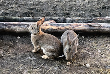 Two Grey Rabbits Fool Around On A Farm. Close-up. Zoo