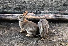 Two Grey Rabbits Fool Around O...