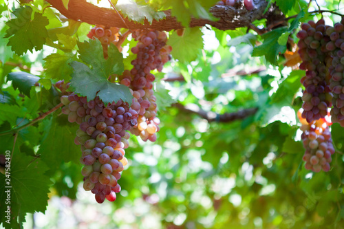 Fotografia  Bunches of wine grapes on the vine. summer Sunny day