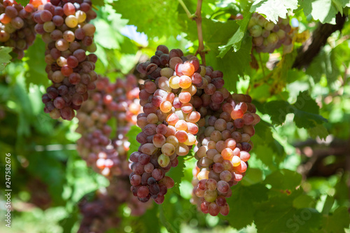Fotografiet  Bunches of wine grapes on the vine. summer Sunny day