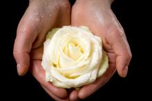 Girl's Hands Holding Wet White Rose