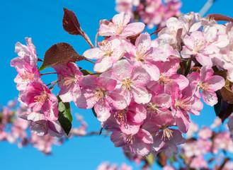 Panel Szklany Egzotyczne Spring sakura blossom flower twig