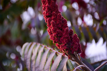 Flowers Shrub Sumac