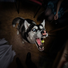 Husky Dog Trying To Catch A Grape With Its Jaws Wide Open On A Dark Backround