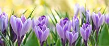 Beautiful Purple Crocus Bloomi...