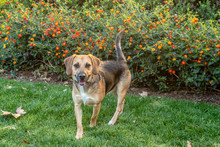 Happy Beagle Mix Dog Standing ...