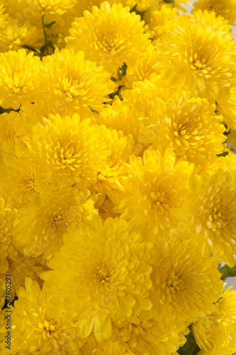 Fototapety, obrazy: Bright beautiful background of a yellow flowers