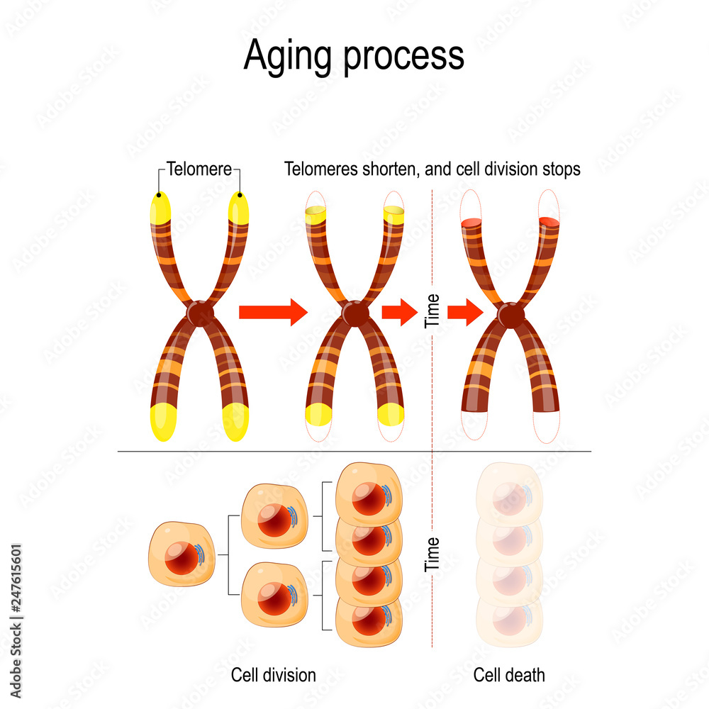Fototapeta Aging process. Telomeres shorten, and cell division stops.