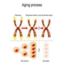Aging Process. Telomeres Short...