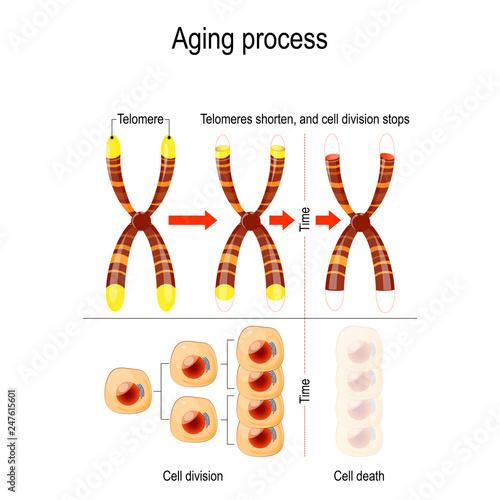 Fotografía  Aging process. Telomeres shorten, and cell division stops.