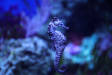 Blue Speckled Seahorse