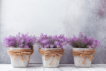 Small Purple Flowers In Gray Ceramic Pots On Stone Background Rustic Style