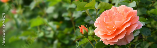 Canvas Prints Roses Garten 843