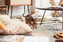 Abyssinian Cat Hunts For A Toy In The Studio