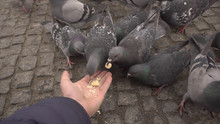 Feeding Pigeons Out Of Hand