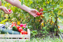 Female Hands Picking Fresh Tomatoes To Wooden Crate With Vegetables. Organic Garden At Summer Harvest