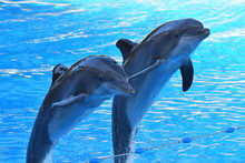 Two Dolphins Jumping Out Of Th...