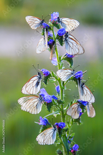 Invasion of butterflies, big group of black-veined white butterflies (Aporia cra Canvas Print