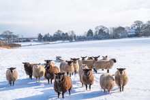 Winter Sheep. Sheep In A Snow Covered Field High On The Yorkshire Wolds.