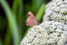 Red-banded Hairstreak ,Calycopis Cecrops,i