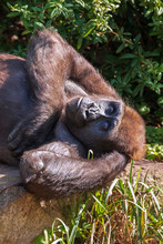 Black Gorilla Resting In Brigh...