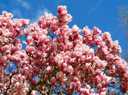 Huge Pink Blooming Magnolia Tree Buy This Stock Photo And