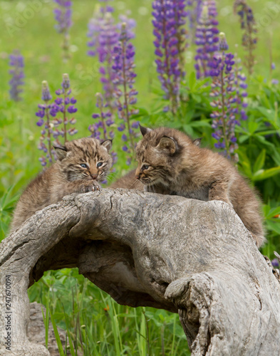 Fotografie, Obraz  Bobcat Kittens Posing on a Log with Purple Lupine in the Background